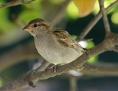 Sperling in einem Baum