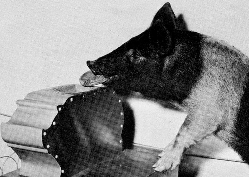 """Ein dressiertes """"Sparschwein"""" aus dem IQ-Zoo"""