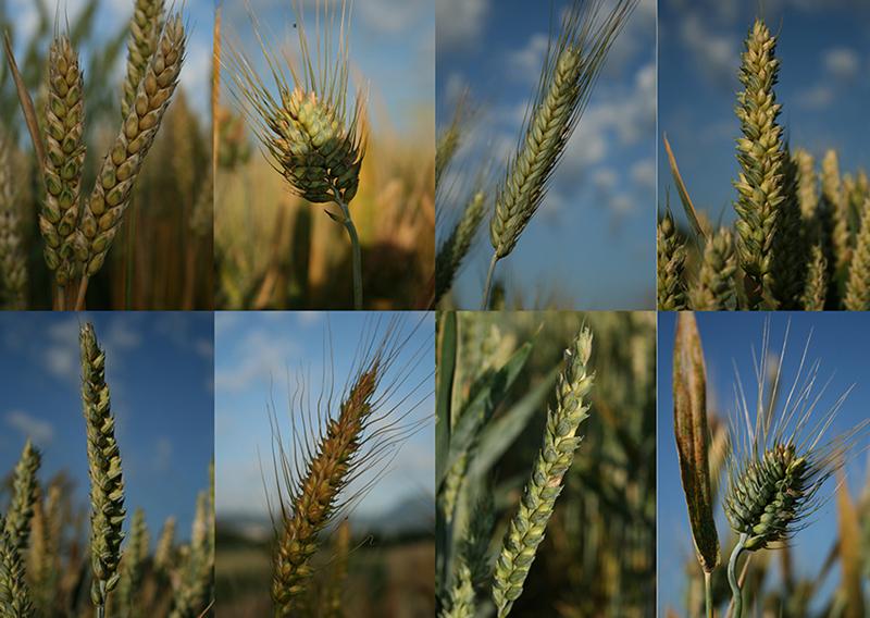 Mehrere Weizensorten