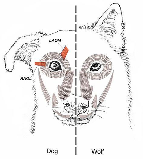 Dackelblick: Woher der unwiderstehliche Blick von Hunden kommt