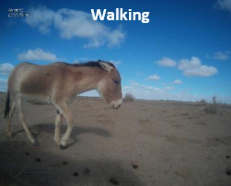 """Die Khulan-Stute """"Naran"""" fotografiert einen Artgenossen"""