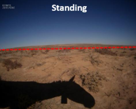 """Die Khulan-Stute """"Naran"""" fotografiert sich selbst beim Stehen"""