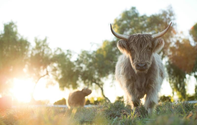 A cow on the farm