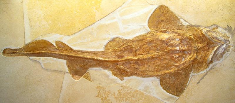 Fossiles Skelett des knapp einen Meter großen Palaeocarcharias stromeri aus dem Jura-Museum Eichstätt