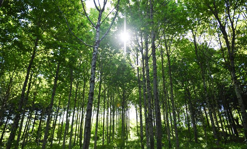 In den nördlichen Industrienationen nimmt der Waldbestand derzeit wieder zu (Birkenwald in Frankreich)