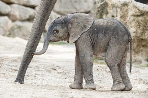 Elefantenbaby im Tiergarten Schönbrunn geboren