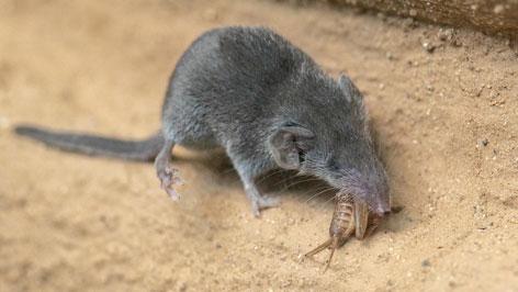 Nachwuchs beim kleinsten Säugetier der Welt im Alpenzoo