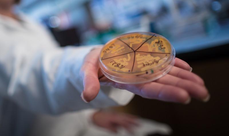 Darmbakterien in der Petrischale
