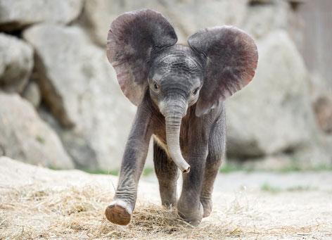 Elefantenbaby heißt Kibali