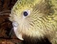 Ein Kakapo