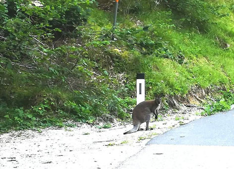 Känguru Johann