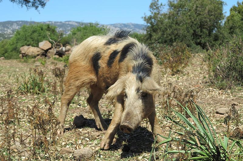 Verwildertes Hausschwein in der freien Natur