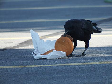 Stadtleben: Krähe frisst einen Cheeseburger