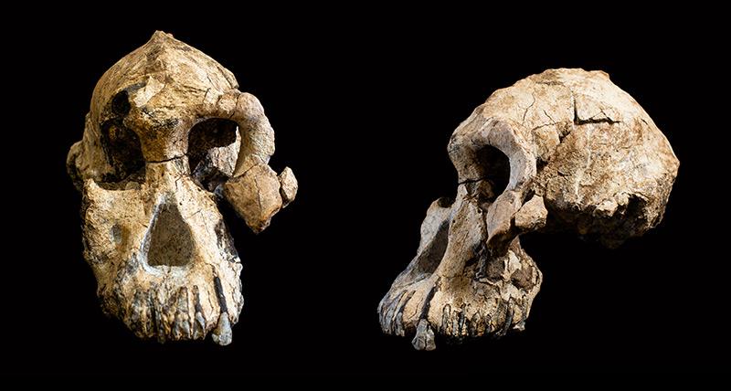 Der Schädel des Australopithecus