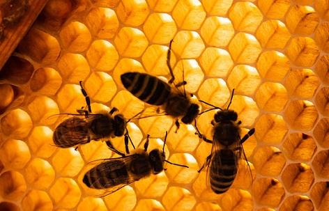 Honigbienen sitzen auf Bienenwaben