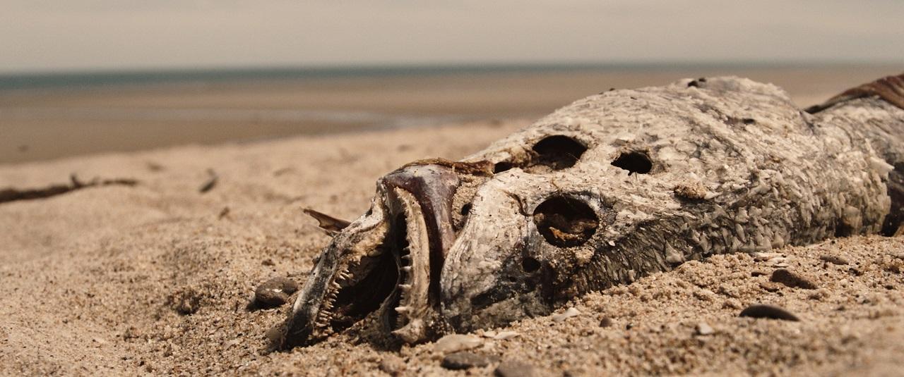 A dead Totoaba