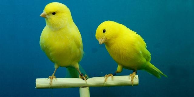 Zwei Kanarienvögel sitzen auf einer Stange