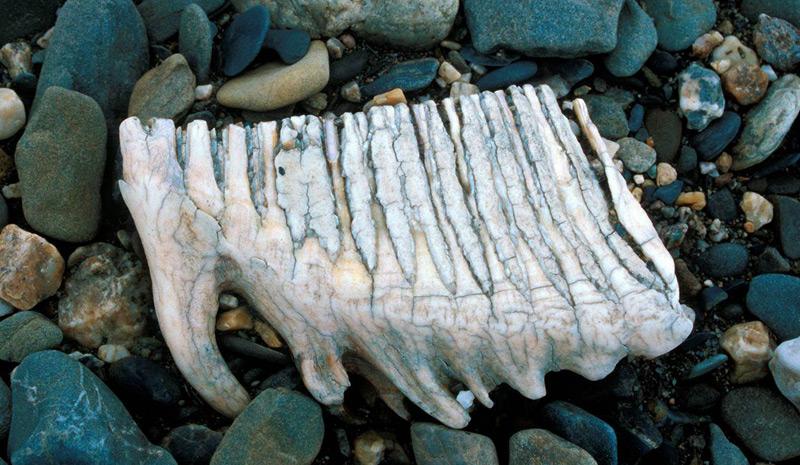 Mammut-Zahn auf der Wrangelinsel