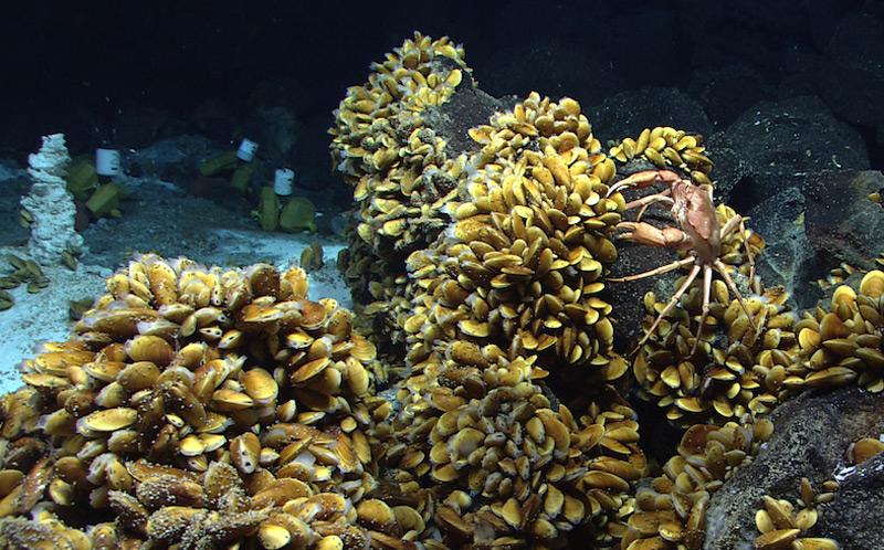 Bathymodiolus-Muscheln und andere Bewohner der Hydrothermalquellen am Mittelatlantischen Rücken vor der Küste der Azoren