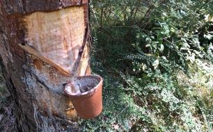 Die Kraft des Waldes - Die letzten Pecher von Hernstein