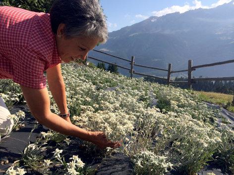 Kräuterwelten in den Alpen
