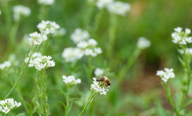 Biene auf Blüte, Wiese