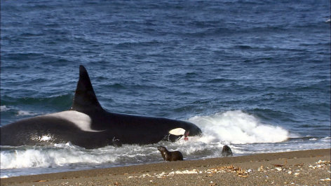 Patagonien: Die Küste der Killerwale    Originaltitel: Die letzten Paradiese