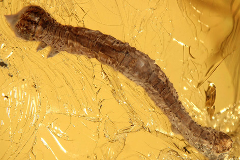 Schmetterlingsraupe Eogeometer vadens in Bernstein