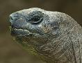 Riesenschildkröte Schurli blickt auf einen blauen Ball