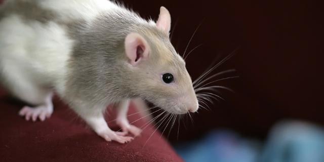 Ratte auf einem Sofa