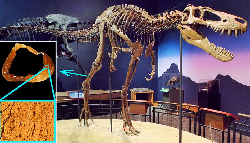 """Die Untersuchung eines Knochenstücks aus dem Scheinbein des Exemplars """"Jane"""" aus dem Burpee Museum für Naturgeschichte in Illinois"""