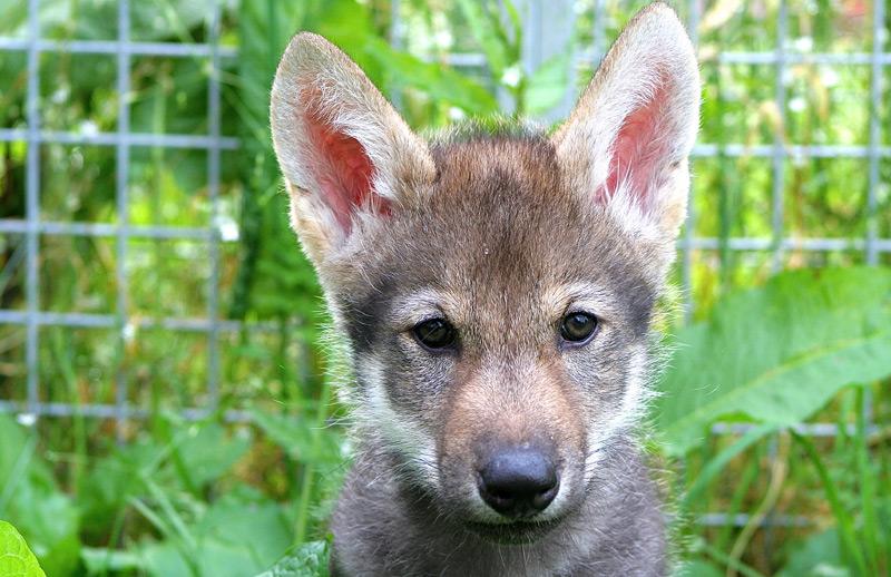 """Junger Wolf namens """"Flea"""""""