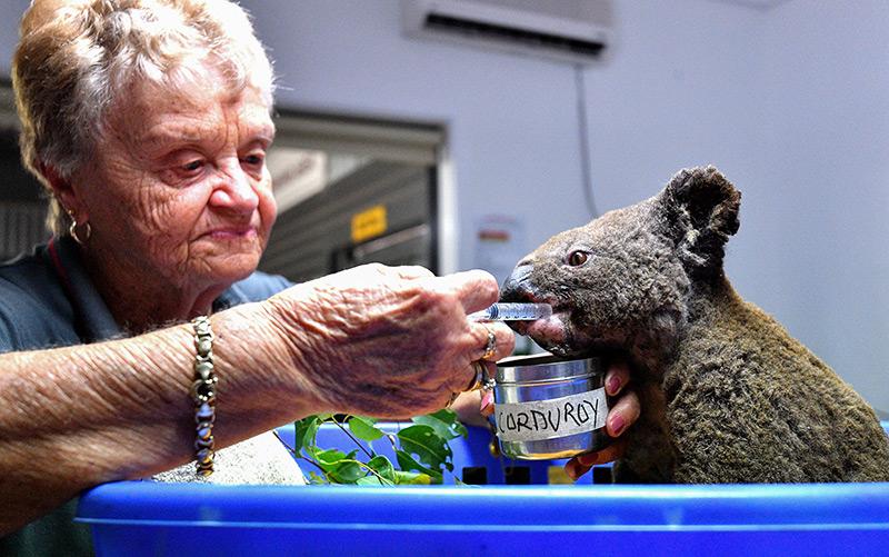 Dehydrierter und verletzter Koala, dem bereits im November 2019 geholfen wird