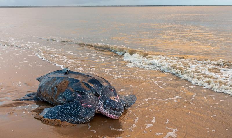 Lederschildkröte am Strand