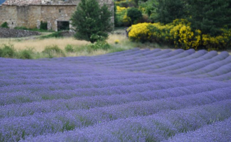 Echter Lavendel auf einem Feld in Frankreich