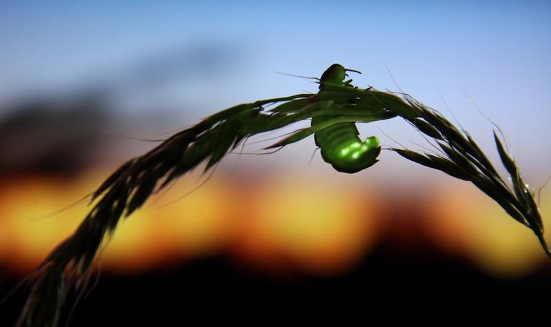 Weibliches Glühwürmchen (Lampyris noctiluca), das gerade leuchtet