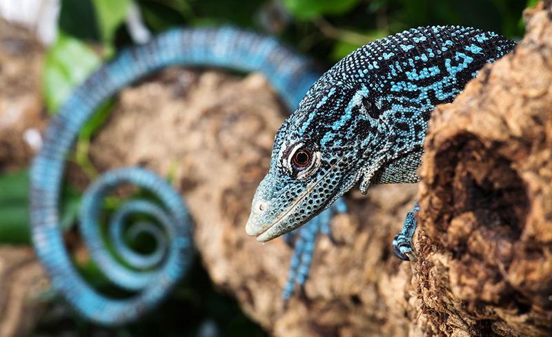 Blauer Baumwaran mit langem, eingerolltem Schwanz sitzt auf einem Ast