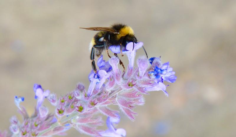 Hummel //Bombus terrestris// auf Blume