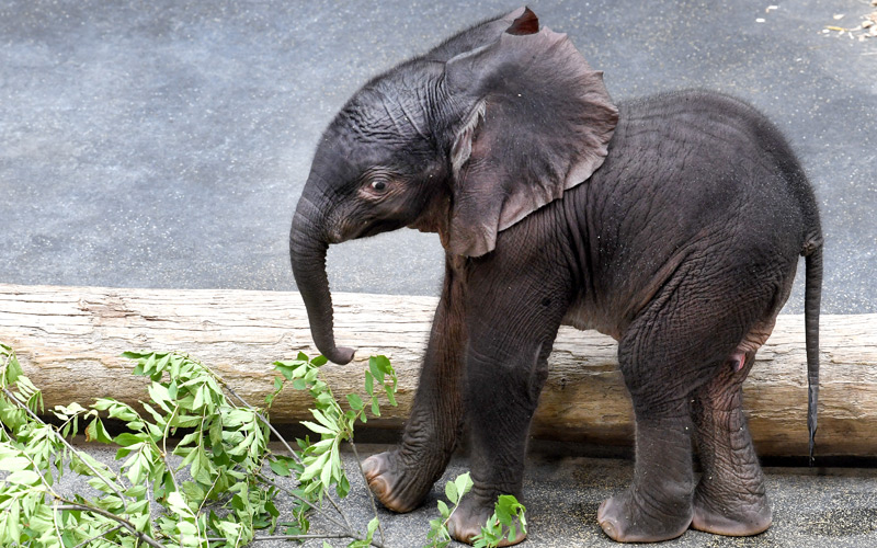 Schönbrunner Elefantenbaby Kibali im Alter von wenigen Tagen