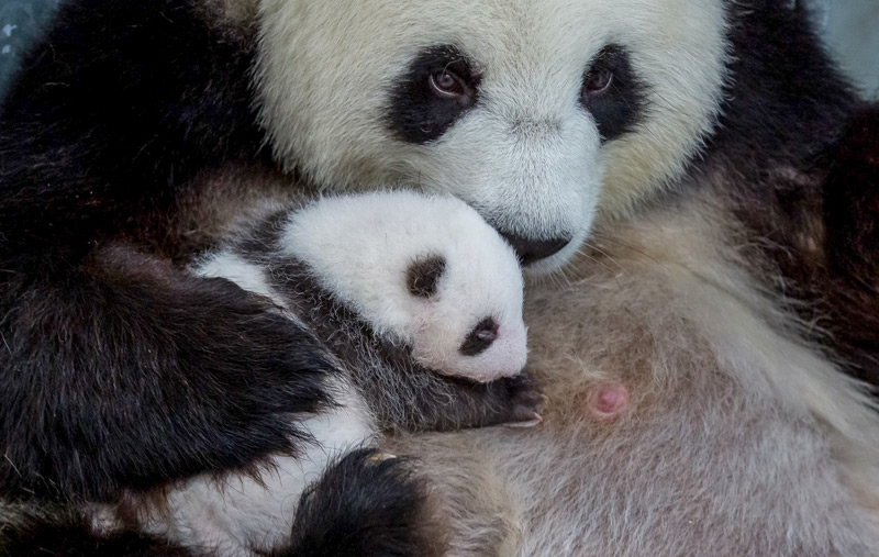 Junger Panda mit Mutter im Berliner Zoo
