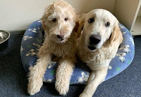 zwei junge Hunde im Körbchen