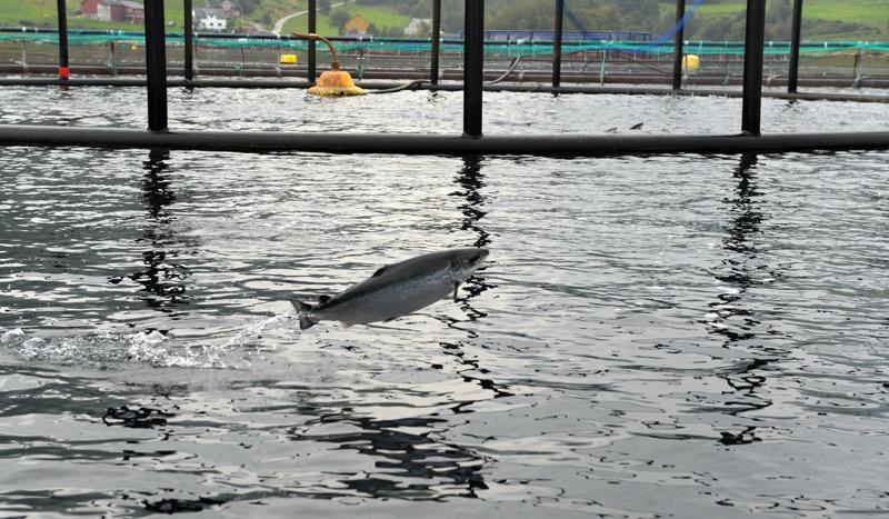 Lachs in einer norwegischen Lachsfarm
