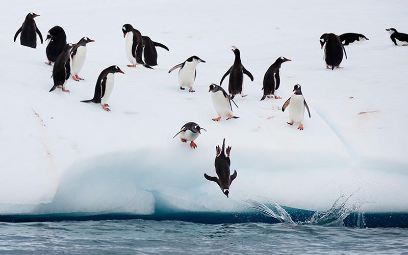 Zügelpinguine in der Antarktis