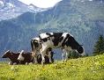 Kühe beim Grasen auf einer Alm