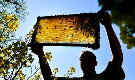Ein Imker zeigt eine Bienenwabe