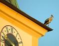 Weißstorch auf Kirchendach