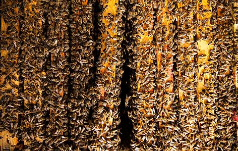Blick ins Innere des Bienenstocks mit vielen Bienen