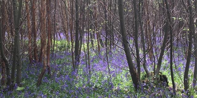 Wald mit Glockenblumen