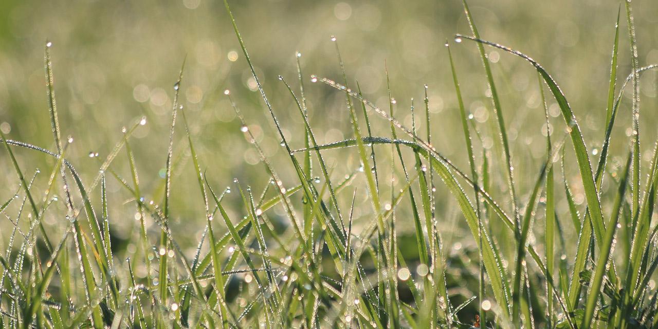 Morgentau auf Wiese Gras