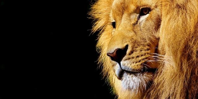 Löwe vor schwarzem Hintergrund